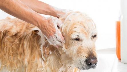 Pulci del cane: il vademecum per trattarle